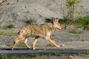 coyote-1820__340